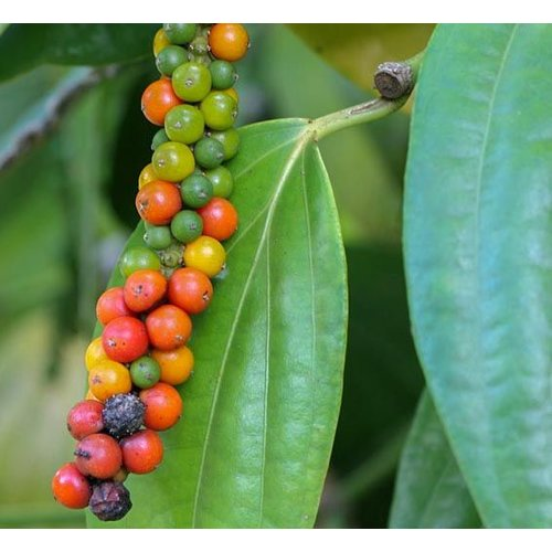 Eetbare tuin-edible garden Piper nigrum - Zwarte peperplant