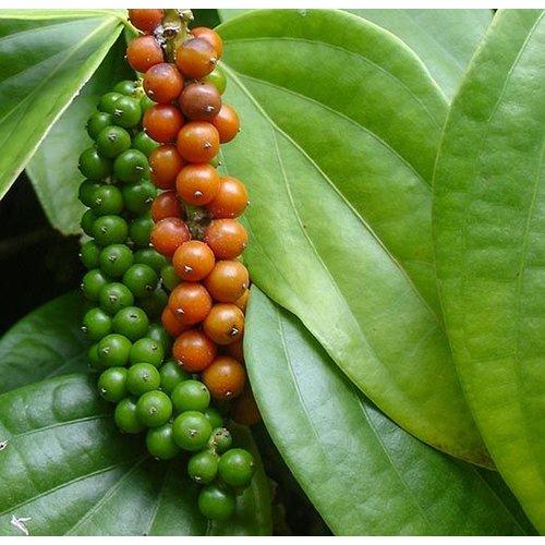 Eetbare tuin-edible garden Piper nigrum - Black pepper