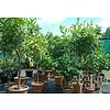 Eetbare tuin-edible garden Citrus limonum - Citrus limon - Citroen