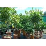 Eetbare tuin-edible garden Citrus sinensis - Sinaasappelboom