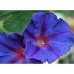Bloemen-flowers Ipomoea learii - Blauwe sierwinde - Dagbloem