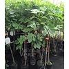 Eetbare tuin-edible garden Ficus carica Signora Nero - Fig tree