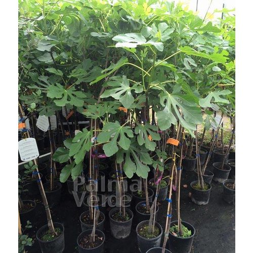 Eetbare tuin-edible garden Ficus carica Signora Nero - Vijgenboom