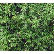 Bamboe-bamboo Fargesia murieliae Dino