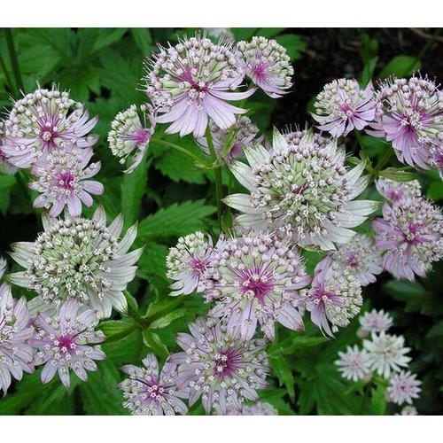 Bloemen-flowers Astrantia major - Zeeuws knoopje