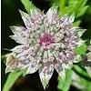 Bloemen-flowers Astrantia major