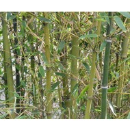 Bamboe-bamboo Phyllostachys parvifolia