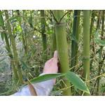 Bamboe-bamboo Phyllostachys parvifolia