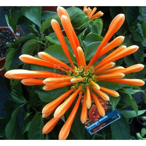 Bloemen-flowers Pyrostegia venusta - Vlamtrompet