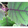 Eetbare tuin-edible garden Solanum Quitoense - Naranjilla - Lulo