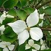 Bloemen-flowers Cornus kousa Chinensis - Dogwood