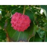 Bloemen-flowers Cornus kousa Chinensis - Kornoelje