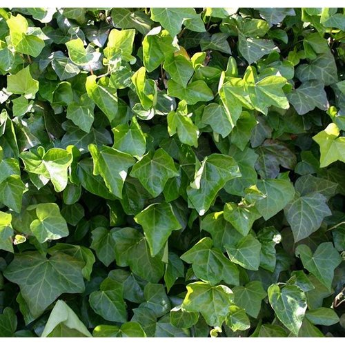 Blad-leaf Hedera helix Hibernica - Wintergroene klimop
