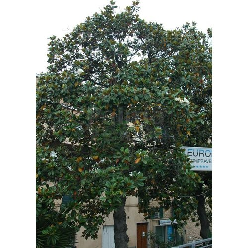 Bloemen-flowers Magnolia grandiflora
