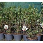 Bloemen-flowers Crinodendron hookerianum