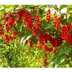 Eetbare tuin-edible garden Schisandra chinensis - Pepperberry