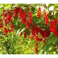 Eetbare tuin-edible garden Schisandra chinensis - Peperbes
