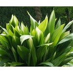 Blad-leaf Aspidistra elatior
