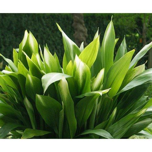 Blad-leaf Aspidistra elatior - Kwartjesplant