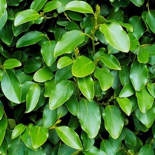 Blad-leaf Griselinia littoralis