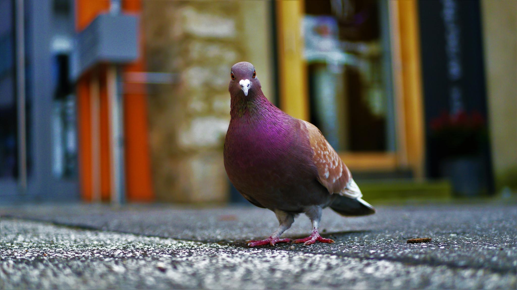 Veel Voorkomende Duiven Ziektes - Medicijnen, vaccins en supplementen voor  vogels / duiven