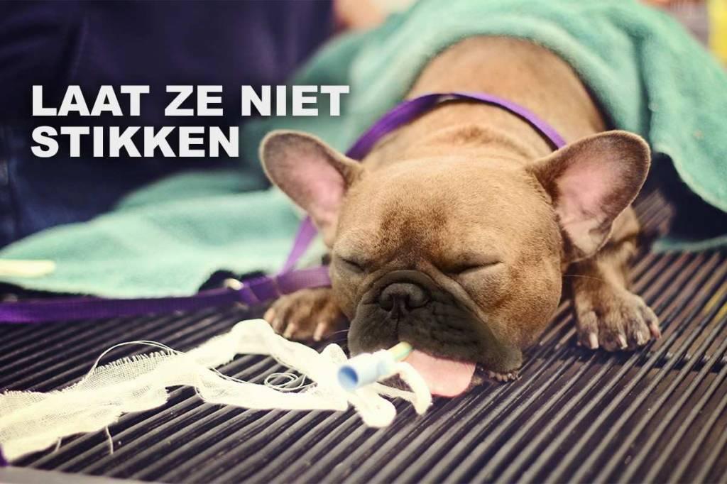 Dierenartsen waarschuwen voor problemen bij extreem kortsnuitige honden en katten