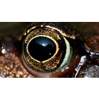 Eyes for amphibians and reptiles