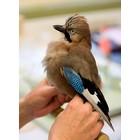 Cursus prepareren van vogels