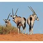 Antilope & runder ogen