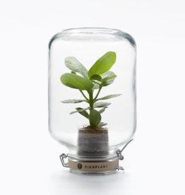 Pikaplant Jar Clusia