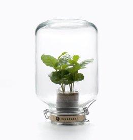 Pikaplant Jar Coffea Arabica