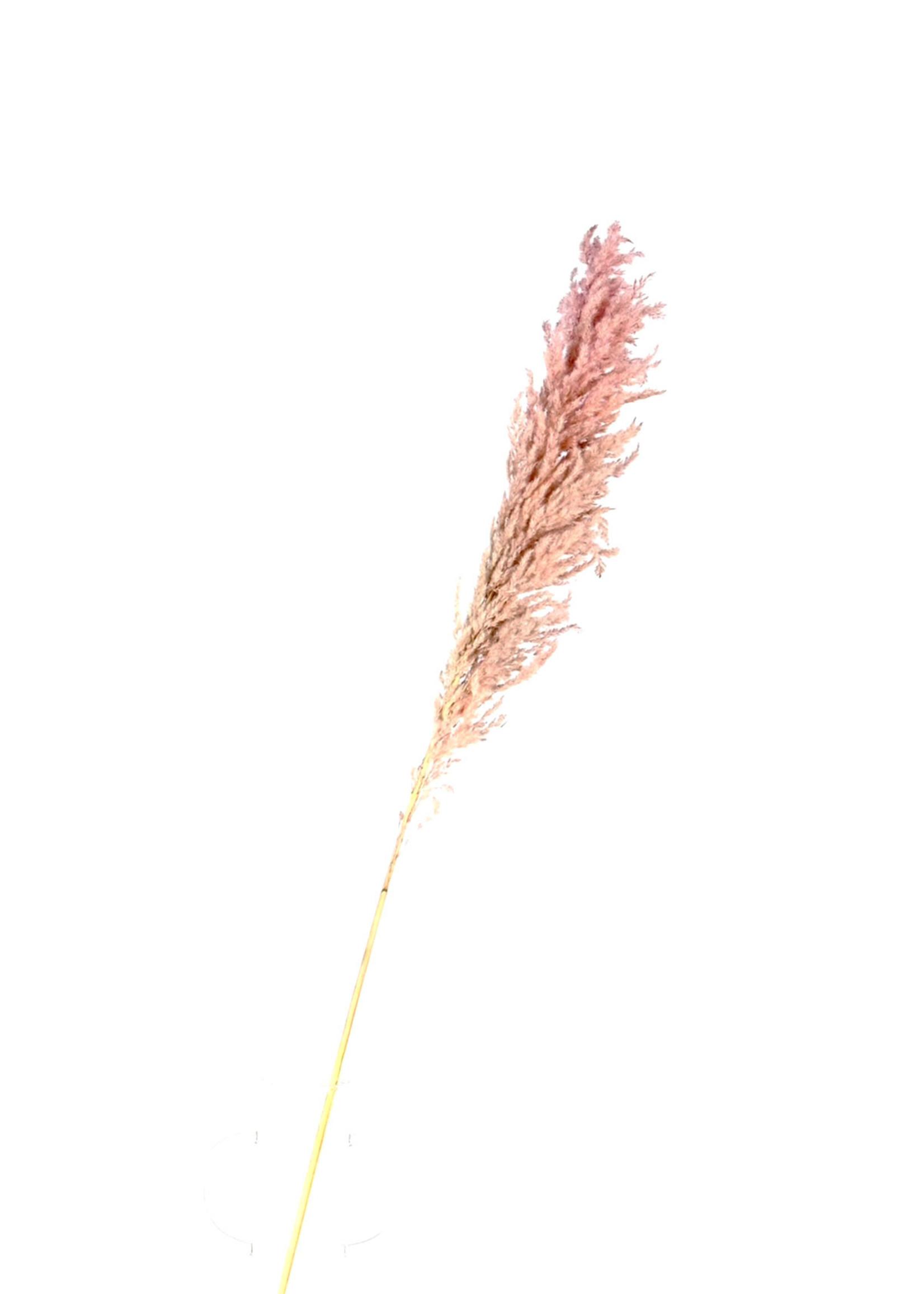 Dry flower pampas licht roze p/s