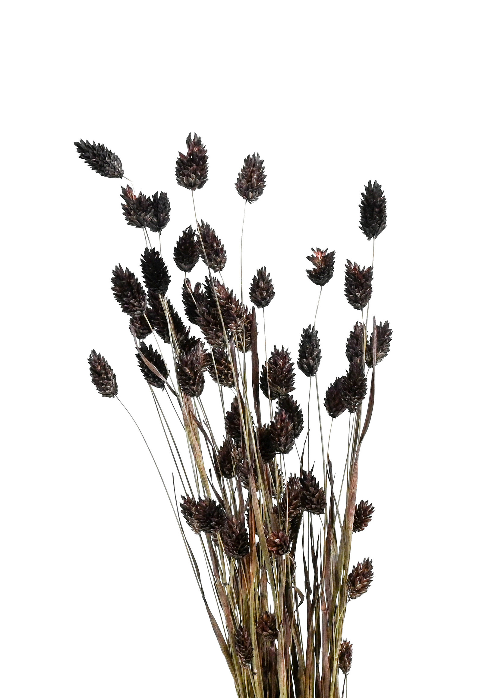 Dry flower Phalaris