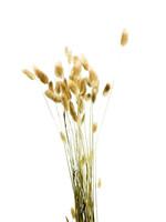 Dry flower Lagurus