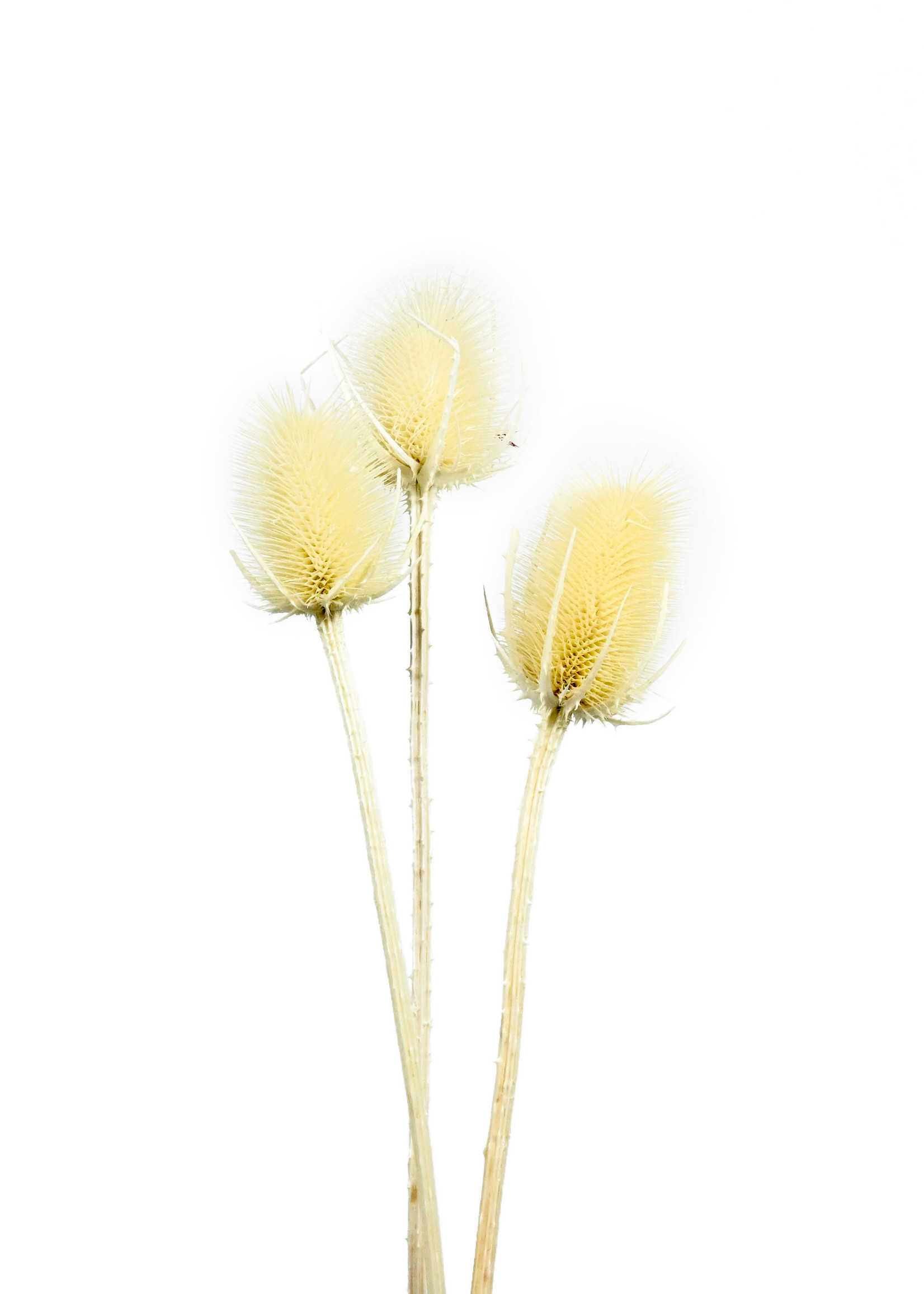 Dry Flower distel bleached