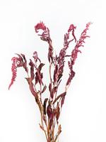 Dry Flower amaranthus rood