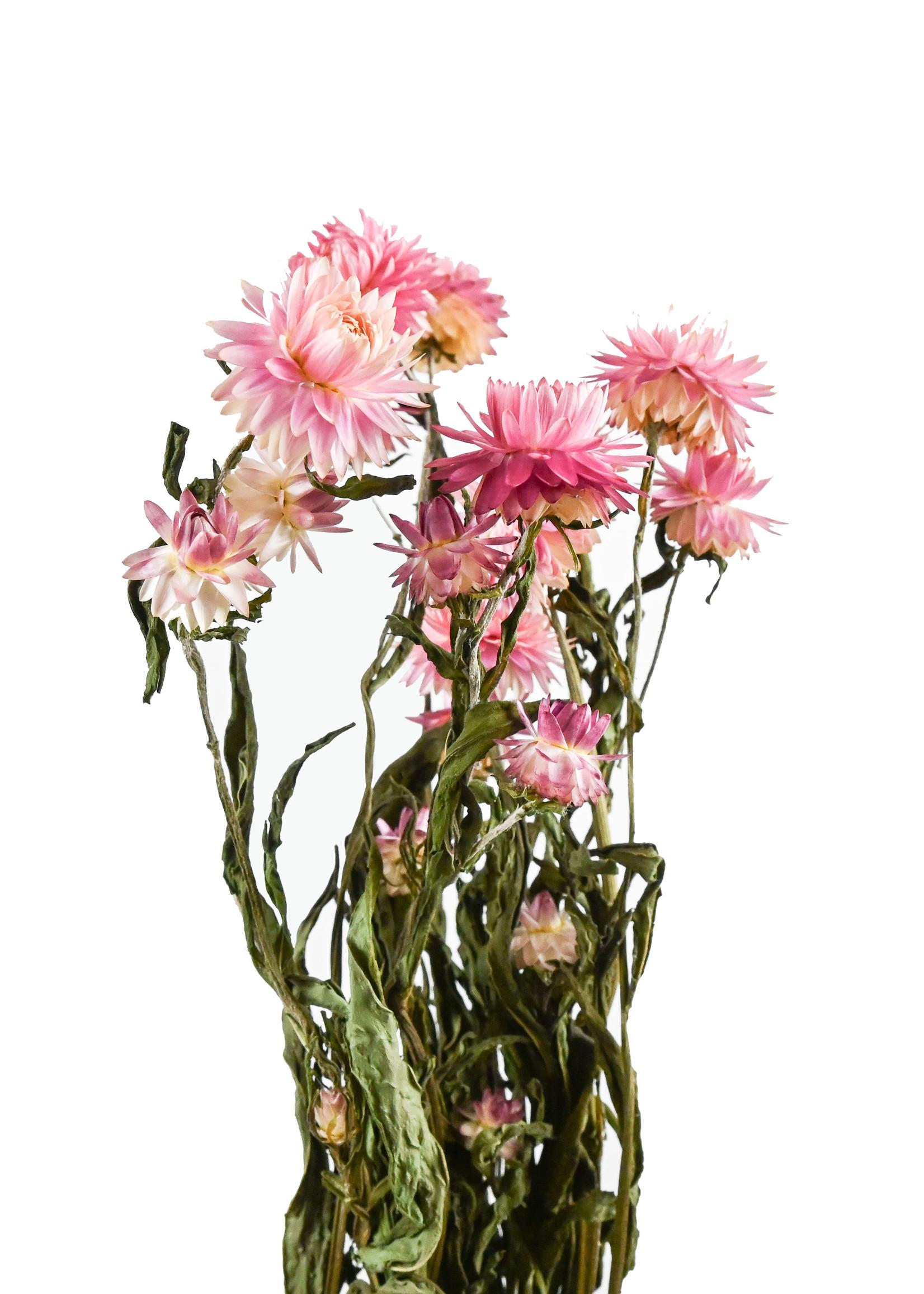 Dry flower acroclinium pink