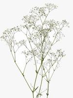 Mood Dry Flowers Gypsophilla