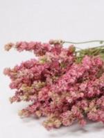 Dry Flower Delphinium roze 65cm
