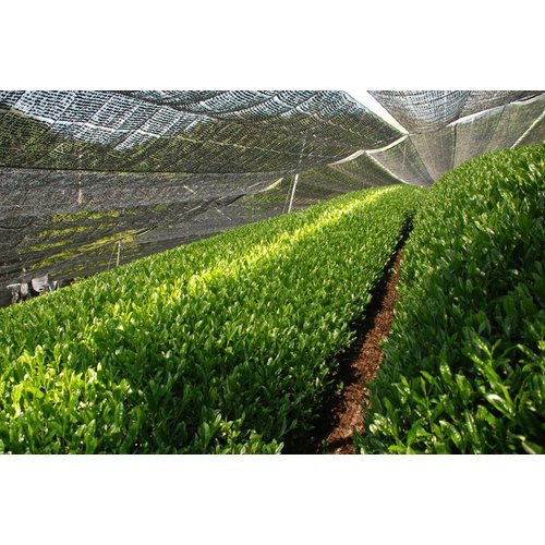 Japan Kabusecha Asuka Biologisch Premium | losse thee kopen