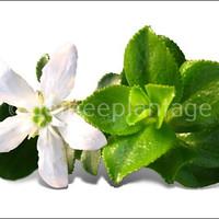 Wat is Buchu – Het wonderkruid uit de Cape Floral Kindom