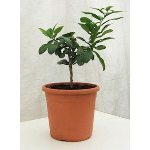 Young Kaffir Lime Plant