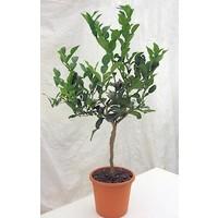 Mature Kaffir Lime Plant