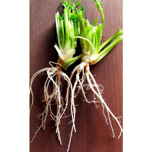 Coriander Root 30-35g