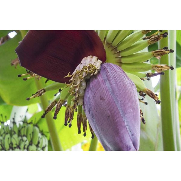 Banana Flower Approx. 350g