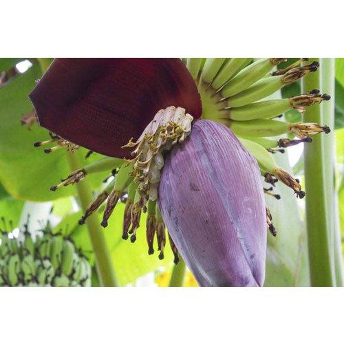 Banana Flower Approx. 300g