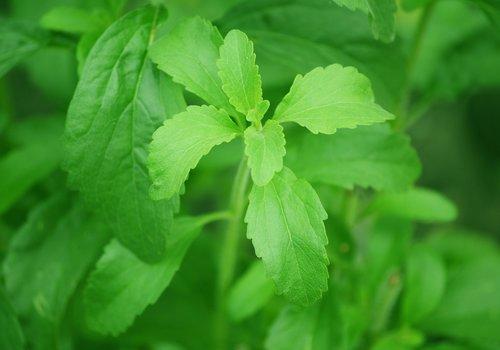 De Stevia Plant