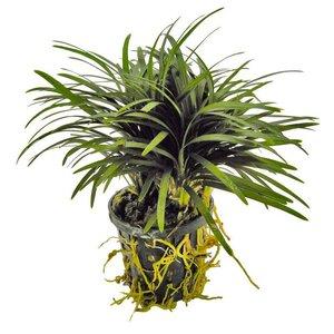Waterplant Ophiopogon kyoto aquariumplant