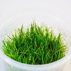 Waterplant Easy Grow Eleocharis Acicularis (nr2)