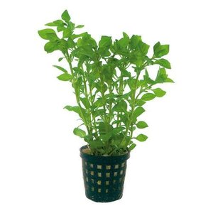 Waterplant Ludwigia palustris groen